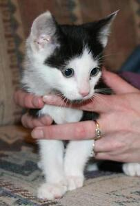 ELF - BLACK/WHITE MALE - YOUNG BABY KITTEN