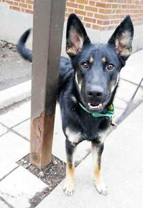 "Young Male Dog - German Shepherd Dog: ""Django"""