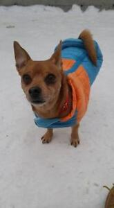"Adult Male Dog - Chihuahua-Mixed Breed: ""Fido"""