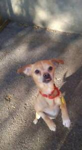 """Adult Male Dog - Mixed Breed: """"Bandit"""""""