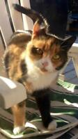 """Young Female Cat - Domestic Short Hair: """"Beatrice"""""""