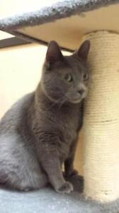 Adult Male  - Russian Blue-Domestic Short Hair (Gray)