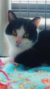 """Young Female Cat - Domestic Short Hair: """"Evelyne"""""""