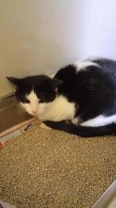 "Young Female Cat - Domestic Short Hair (Black & White): ""Lovas"""