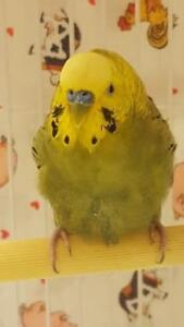 "Young Male Bird - Budgie / Budgerigar: ""38578247"""