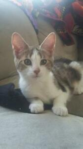 "Baby Female Cat - Domestic Short Hair-Tabby - buff: ""Taco"""
