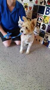 """Young Male Dog - Terrier: """"Dudley"""""""