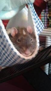 "Young Male Small & Furry - Rat: ""Pepsi"""