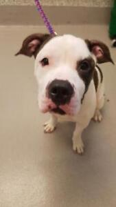 """Adult Male Dog - Pit Bull Terrier-American Bulldog: """"Kevin"""""""