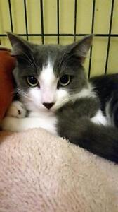 "Young Male Cat - Domestic Short Hair: ""Rex"""