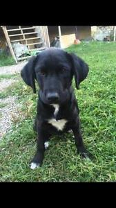 "Young Male Dog - Labrador Retriever: ""Moguli"""