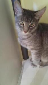 """Baby Male Cat - Tabby: """"Sherman"""""""