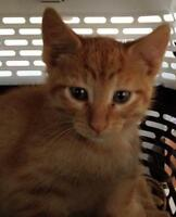"""Young Male Cat - Domestic Short Hair: """"Sunshine"""""""
