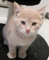 """Young Male Cat - Domestic Short Hair: """"Tyler"""""""