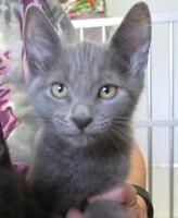 """Young Male Cat - Domestic Short Hair: """"Lenny"""""""