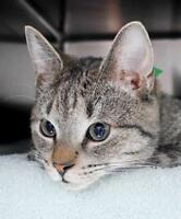 "Young Male Cat - Domestic Short Hair: ""Ash"""