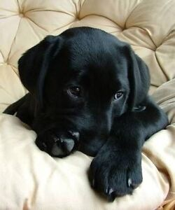 Looking for a black lab