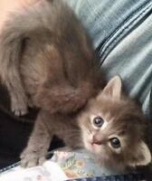 """Young Female Cat - Domestic Medium Hair: """"Lucy-Lou"""""""