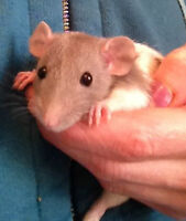 Male Baby Rats