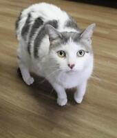 "Adult Female Cat - Domestic Short Hair: ""Maggie"""
