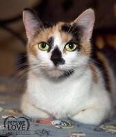 "Young Female Cat - Domestic Short Hair: ""Patches"""