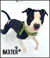 """Young Male Dog - Pit Bull Terrier: """"A24386738 - Baxter"""""""
