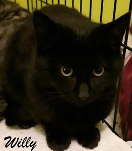 """Young Male Cat - Domestic Short Hair-black: """"Willy"""""""