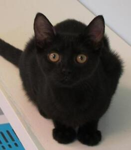 """Young Female Cat - Domestic Short Hair: """"Abby"""""""