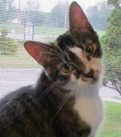 "Adult Male Cat - Tabby: ""Denali"""
