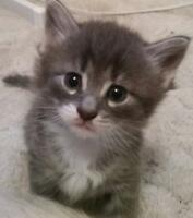 """Young Male Cat - Domestic Medium Hair: """"Dusty"""""""