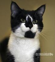 "Adult Male Cat - Domestic Short Hair-black and white: ""Blizzard"""