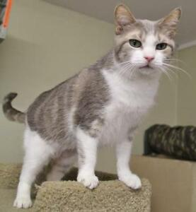 "Adult Female Cat - Domestic Short Hair-Tabby - Grey: ""Felicia"""