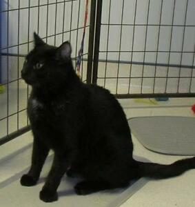 "Adult Male Cat - Domestic Short Hair: ""Stanley"""