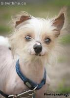 """Adult Male Dog - Chinese Crested Dog: """"Lo Pan"""""""