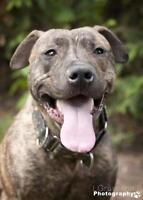 """Young Male Dog - Pit Bull Terrier-Plott Hound: """"Happy"""""""