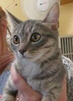 "Young Female Cat - Tabby: ""Le Toya"""