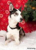 "Adult Male Dog - Siberian Husky: ""Ranger"""