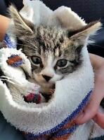 """Young Male Cat - Domestic Short Hair: """"Beau"""""""