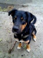 """Young Male Dog - Bernese Mountain Dog-Rottweiler: """"Sampson"""""""