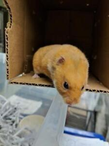 """Baby Male Small & Furry - Hamster: """"Bounty"""""""