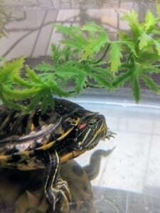 """Young  Scales, Fins & Other - Turtle: """"Tom"""""""