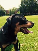 "Young Male Dog - Rottweiler: ""Bud"""
