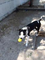 "Young Male Dog - American Staffordshire Terrier: ""Baxter"""