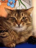 """Adult Male Cat - Domestic Long Hair: """"Spencer"""""""
