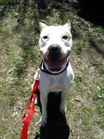 "Young Male Dog - Dogo Argentino: ""Balou"""