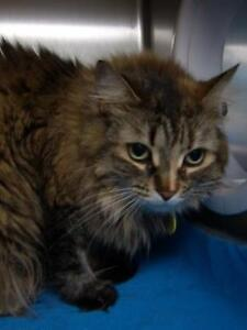 Young Female  - Domestic Medium Hair-Domestic Short Hair