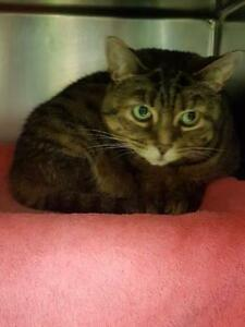 "Senior Female Cat - Domestic Short Hair: ""Naya"""