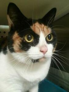 "Young Female Cat - Domestic Short Hair: ""Canelle"""