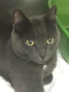 Sweet Russian Blue Mix for Adoption- Vaccinated & Neutered