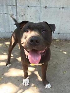 """Adult Male Dog - American Staffordshire Terrier: """"Bam Bam"""""""